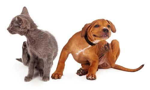 Flöhe bei Katzen und Hunden