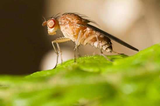 Fruchtfliegen was tun gegen obstfliegen for Fruchtfliegen pflanzen