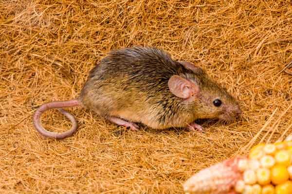 Berühmt Mäuse bekämpfen - so werden Sie die Hausmaus wieder los #XE_31