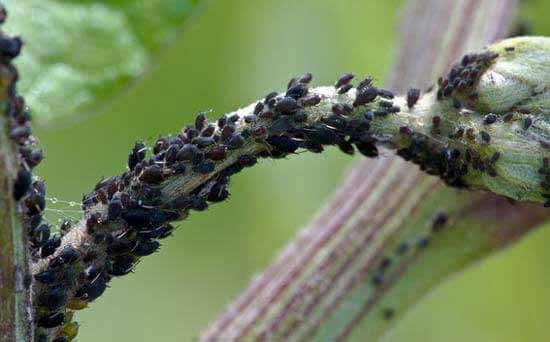 Lieblings Hausmittel gegen Blattläuse - wirksam bei Blattlausbefall &GL_72